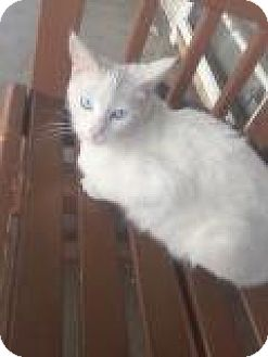 Turkish Angora Cat for adoption in Mission Viejo, California - Lacey