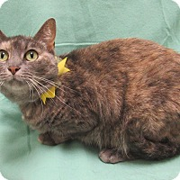 Domestic Shorthair Cat for adoption in Lexington, North Carolina - Martini