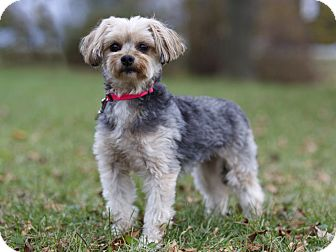 Maltese/Yorkie, Yorkshire Terrier Mix Dog for adoption in Ile-Perrot, Quebec - MAGGIE