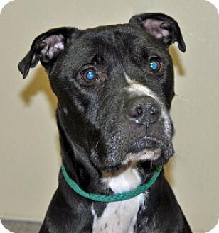 Pit Bull Terrier Mix Dog for adoption in Port Washington, New York - Yukon