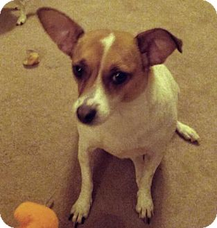 Jack Russell Terrier Mix Dog for adoption in Los Angeles, California - Miley (Falllbrook)