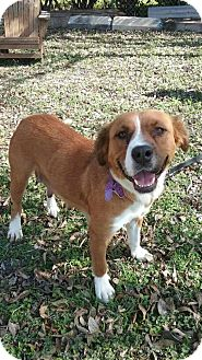 Retriever (Unknown Type)/St. Bernard Mix Dog for adoption in Olympia, Washington - Taffy