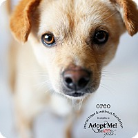 Adopt A Pet :: OREO - Sherman Oaks, CA