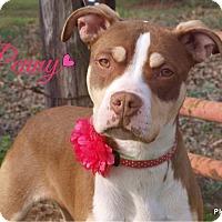 Adopt A Pet :: Penny-pending adoption - Manchester, CT