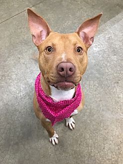Vizsla Mix Dog for adoption in Lake Odessa, Michigan - Hannah
