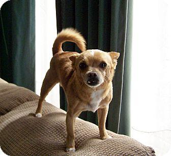 Chihuahua Mix Dog for adoption in Greensboro, Georgia - Spunky