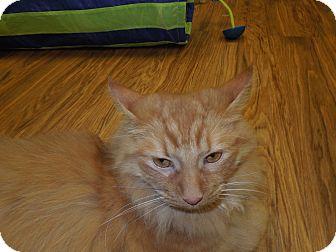 Maine Coon Cat for adoption in Medina, Ohio - Garfield