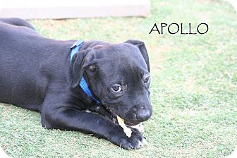 Labrador Retriever Mix Puppy for adoption in Phoenix, Arizona - Apollo