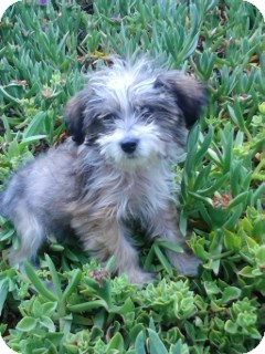 Havanese Puppy for adoption in Irvine, California - GIGI