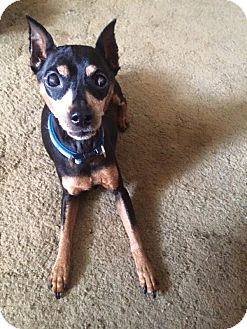 Miniature Pinscher Mix Dog for adoption in Wantagh, New York - Bambi