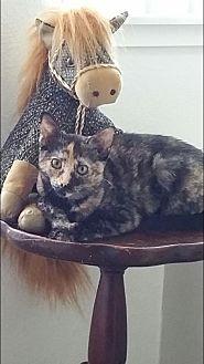 American Shorthair Cat for adoption in Nuevo, California - Spunky