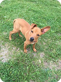 Basenji Mix Puppy for adoption in DeForest, Wisconsin - Frito