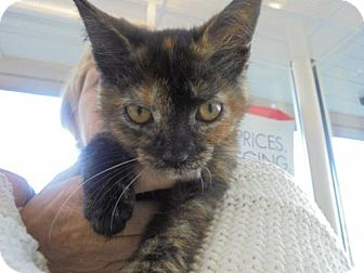 Domestic Shorthair Kitten for adoption in Livonia, Michigan - C16 Litter-Buttons-ADOPTED