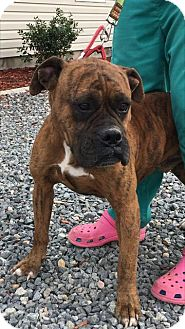 Boxer Mix Dog for adoption in Rockville, Maryland - Spartacus