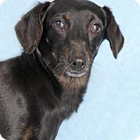 Adopt A Pet :: Hermoine - Encinitas, CA
