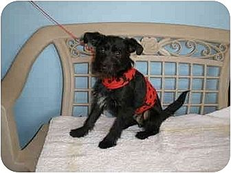 Terrier (Unknown Type, Small)/Schnauzer (Miniature) Mix Dog for adoption in Corona, California - Oliver
