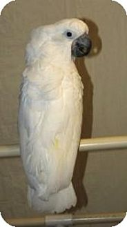Cockatoo for adoption in Northbrook, Illinois - Caesar