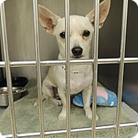 Adopt A Pet :: Chase - Houston, TX