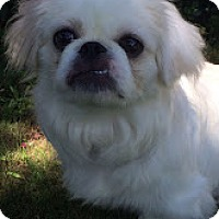 Adopt A Pet :: Puppy - Tinton Falls, NJ