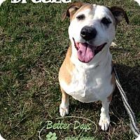Hound (Unknown Type)/Labrador Retriever Mix Dog for adoption in Chambersburg, Pennsylvania - Breeze