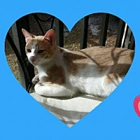 Domestic Mediumhair Cat for adoption in St. Cloud, Florida - Dreamsicle