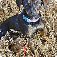 Adopt A Pet :: Ladybug - Meridian, ID
