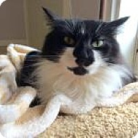 Domestic Longhair Cat for adoption in Quilcene, Washington - Boots