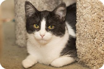 Domestic Shorthair Kitten for adoption in Lombard, Illinois - Nadia