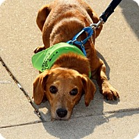 Adopt A Pet :: Tommy - Centreville, VA