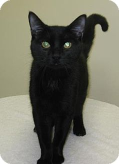 Domestic Shorthair Cat for adoption in Gary, Indiana - Thomas