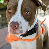 American Staffordshire Terrier Mix Dog for adoption in San Diego, California - Lynden