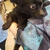 Adopt A Pet :: Fuzzy - Manassas, VA