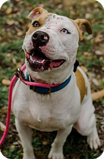 American Staffordshire Terrier Mix Dog for adoption in San Diego, California - Dina