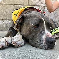 Adopt A Pet :: BOB IS PERFECT - Los Angeles, CA