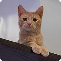 Adopt A Pet :: Loompa - New York, NY