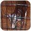 Photo 3 - Miniature Pinscher Puppy for adoption in Florissant, Missouri - Remington