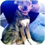 German Shepherd Dog/Australian Shepherd Mix Puppy for adoption in Gilbert, Arizona - ASHES