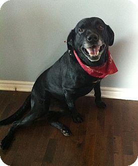 Labrador Retriever Mix Dog for adoption in Rigaud, Quebec - Rocco