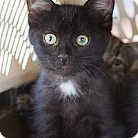 Adopt A Pet :: Asha - Irvine, CA