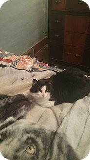 Domestic Mediumhair Cat for adoption in Warren, Michigan - Sylvester