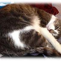 Domestic Shorthair Cat for adoption in Merrifield, Virginia - Spotify