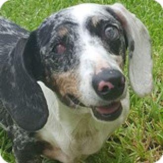 Dachshund Dog for adoption in Houston, Texas - Pia Pidove