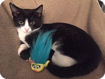 Domestic Shorthair Kitten for adoption in Gainesville, Virginia - Jami