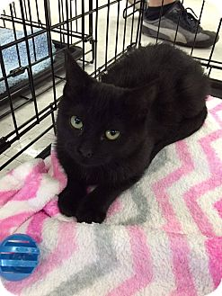 Domestic Shorthair Kitten for adoption in Mansfield, Texas - Scout