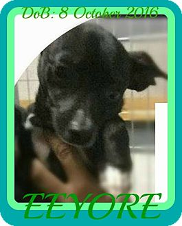 Chihuahua Dog for adoption in Albany, New York - EEYORE