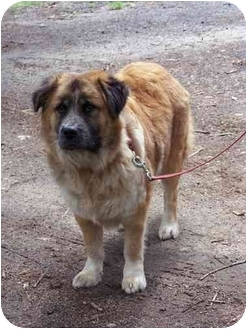 Collie/Shepherd (Unknown Type) Mix Dog for adoption in Winnsboro, South Carolina - Quincy