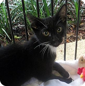 Domestic Shorthair Cat for adoption in Palm City, Florida - Martin