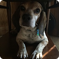 Beagle Mix Dog for adoption in Waldorf, Maryland - Buck Hughes