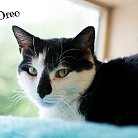 Adopt A Pet :: Oreo - Ocean View, NJ