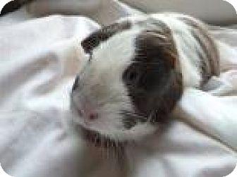 Guinea Pig for adoption in Edmonton, Alberta - Abee